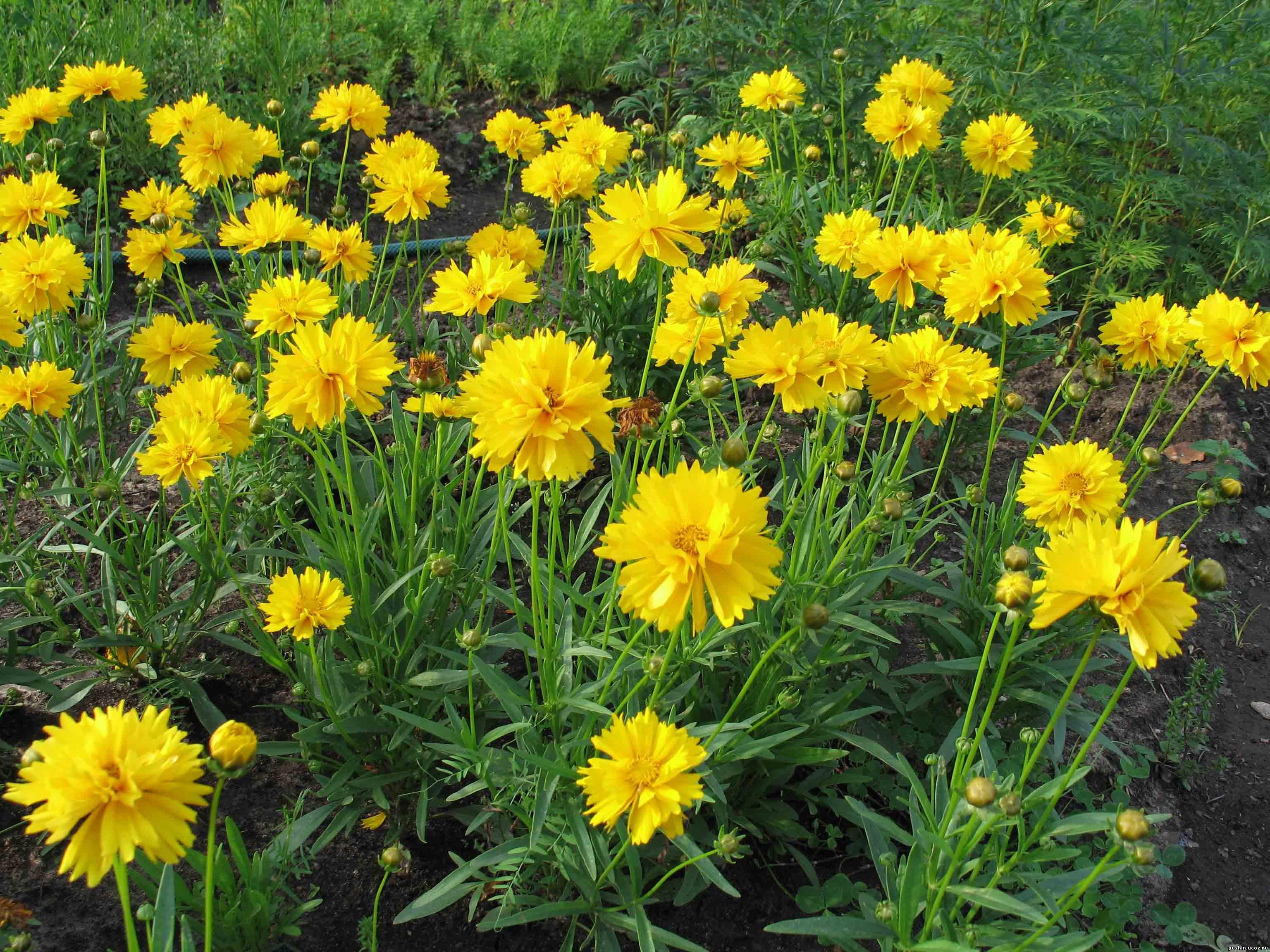 Цветы колокольчик махровый 24