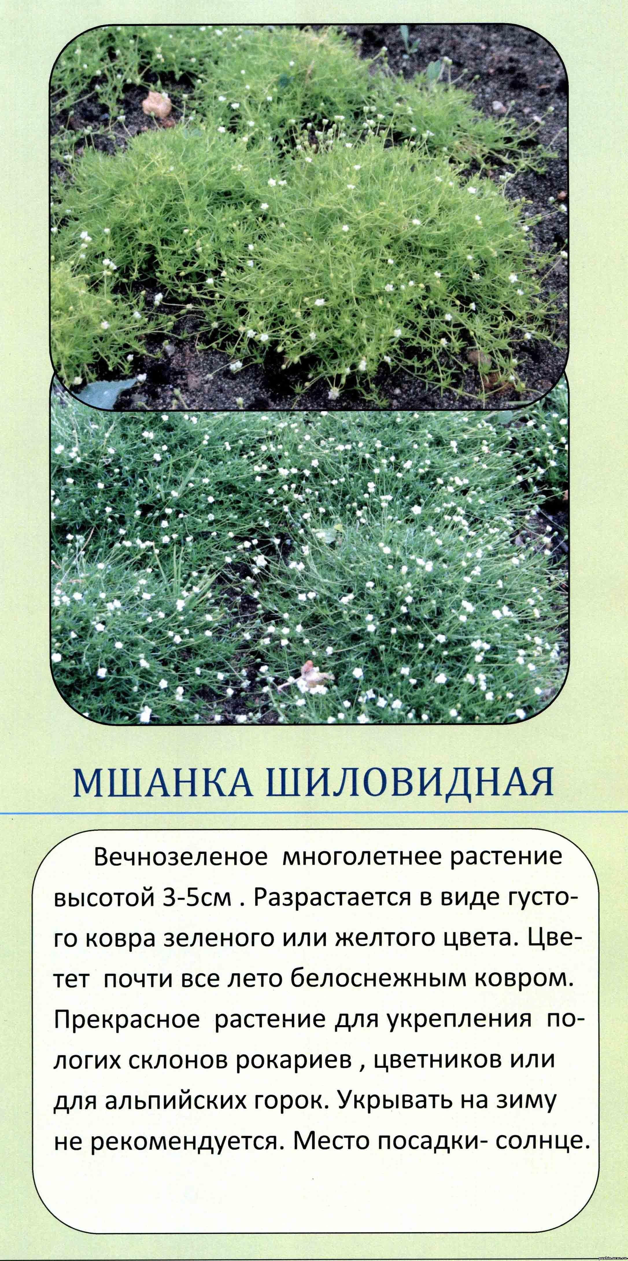 Мшанка шиловидная выращивание из семян в открытом грунте 75